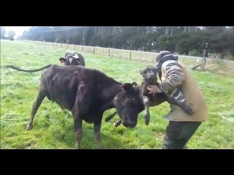Cow Defending Its Baby Calf - HILARIOUS! Cow vs Human