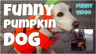 Funny pumpkin dog  2017 🔸 7 second of happiness FUNNY Video 😂 #396