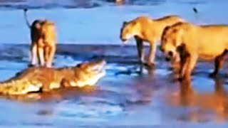 Epic Fight: Lions Attack a Crocodile (2 sets of fighting)