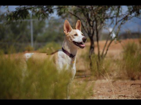 Doberman Meets Egyptian Pariah: Dog Introduction (PUPPY BALADI!)