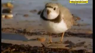 ( الزقزوق .. الكروان ) : : الطيور الساحلية : : المجد الطبيعية
