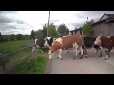 COWS ESCAPE FROM THE SLAUGHTERHOUSE cry more