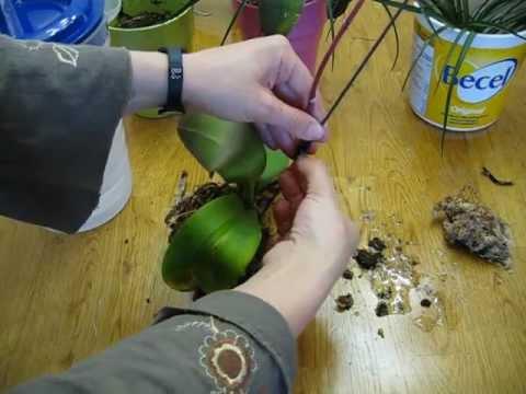 PASO A PASO Transplante de Orquídea Phalaenopsis Enferma Caso 1