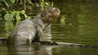 Spotting a Rare Giant Amazon Otter - Deadly 60 - Series 2 - BBC