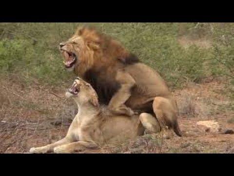 Xxx Mp4 Lions Mating At Serengeti National Park Tanzania 3gp Sex