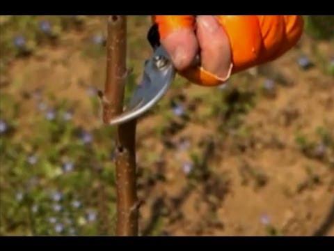 Fidan ve Ağaç aşılama Gaga Aşı Dilcikli İngiliz Aşısı Yarma Aşı 1 6. Bölüm