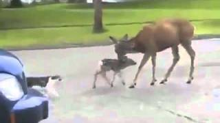 Gangster Deer Protects His Child! Uncut Version!