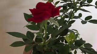 Indoor Rose Growing Tips