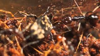 Odontomachus monticola (Schnappkiefer Ameise) jagt Käfer