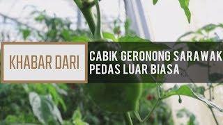 Khabar Dari Sarawak: Cabik geronong Sarawak pedas luar biasa