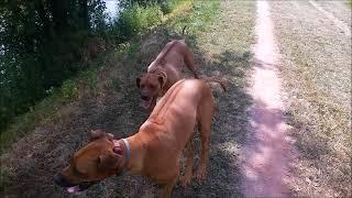 NELA (16 months) & LILA (14 months) Rhodesian Ridgeback
