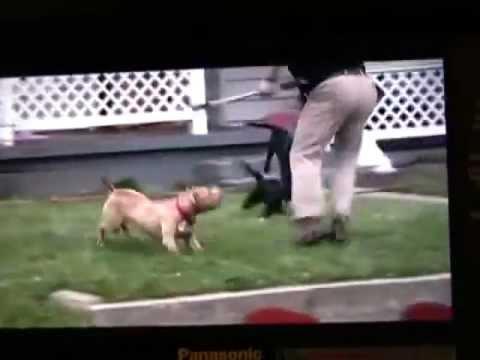 Pit bull é morto por policial apos tentativa de ataque