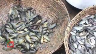 Bangladeshi local fish catching | koi mas কৈ মাছ