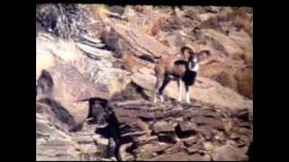 Documentary Sulieman Markhor Afghan Urial Torghar Tanishpa Jogezai -Qilasaifullah