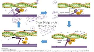 Latch mechanism smooth muscle: Simplified view