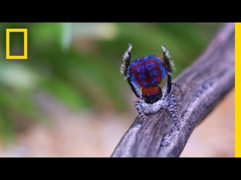 Watch: The Sexy Dance Moves of Male Peacock Spiders | National Geographic