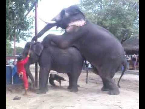 Xxx Mp4 Elephant Mating 4 3gp Sex