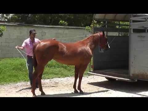 Equino ¿Cómo subir un caballo a un remolque