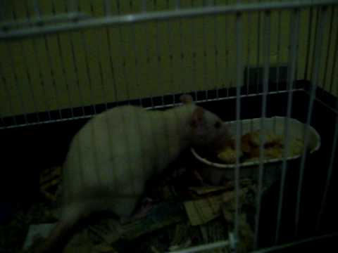 Smart rat: Lila