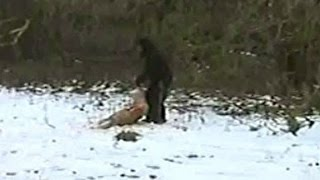 Real Bigfoot Sighting 2016 (Proof/Evidence Caught on Camera)