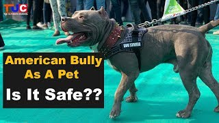 American Bully As A Pet : Is It Safe?? : The Ultimate Channel