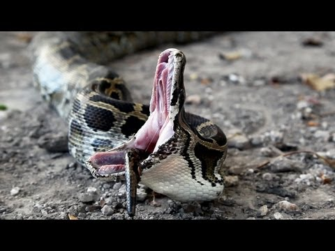 Python vs Python 01 Snake Cannibalism