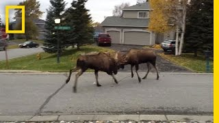 Watch Moose Fight in a Quiet Alaska Suburb   National Geographic