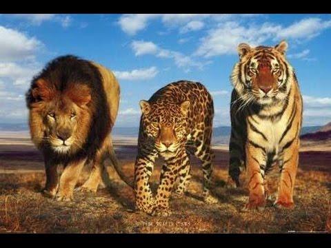 Birbirine Karıştırılan 10 Büyük Kedi