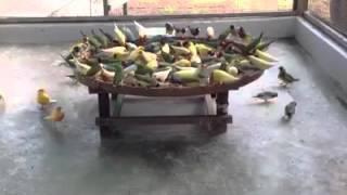 Inilah Ternak Koloni Kenari Silangan Gold Finch Mule Warnanya Unik Download Mp3 Mp4 3GP HD Video