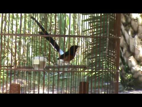 Murai Batu Shama Vs Wild Shama Video 03