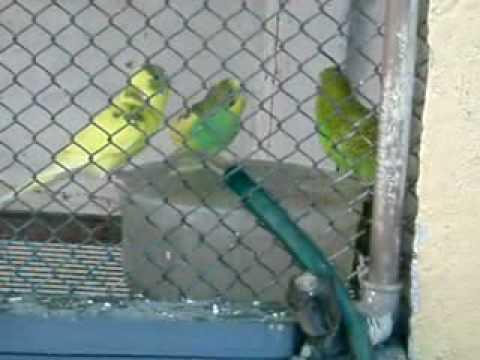 Banho dos Periquitos Australianos Pássaros do Portuga