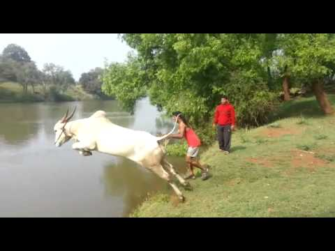 Cow jumps into the river