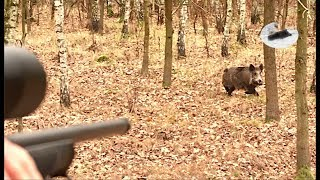 Wild boar driven hunting - great spot and two boars shot!