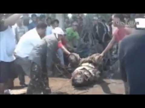 O maior crocodilo do mundo até agora