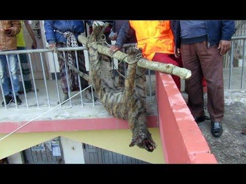 Xxx Mp4 সুন্দরবন থেকে লোকালয়ে বাঘ পিটিয়ে হত্যা ।। Bagerhat Info News 3gp Sex