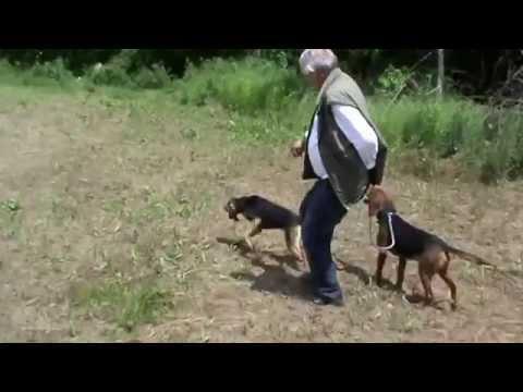 balkanski gonic i seguci na prodaju
