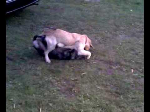 Walka agresywnych psów
