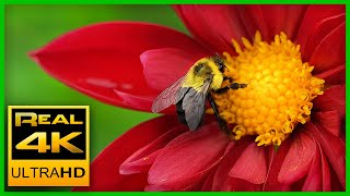 Breathtaking Colors of Nature in 4K 🌹🌷 Beautiful Flowers - Sleep Relax Music 4K UHD TV Screensaver