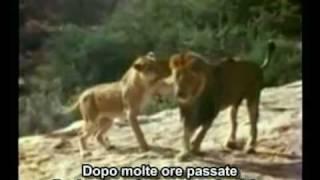 L'incredibile storia del leone Christian (sottotitoli in italiano)