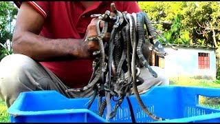 পটুয়াখালী রাজ্জাক বিশ্বাস  সাপ এর বাচ্চাকে নিয়ে অসাধারন ডকুমেন্টারী ভিডিও | BD Snake Master | HD