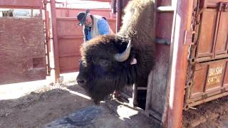 Replacing ear tag on a Bison    Buffalo