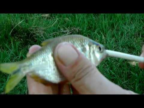Como fazer iscas para pesca de Traíra.
