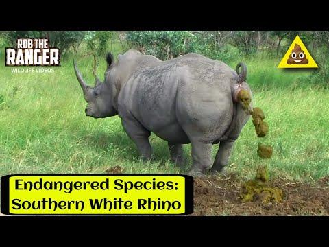 White Rhino Marking His Territory