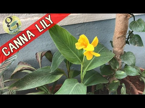 Xxx Mp4 CANNA LILY Plant Care How To Grow And Care Cannas Propagation Of Canna Lily 3gp Sex