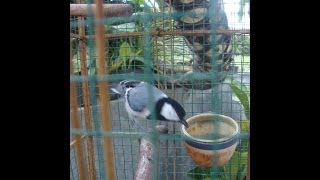 Burung Gelatik Wingko Gacor Suara Mantap