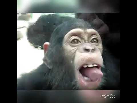 monkey licks to cute girl