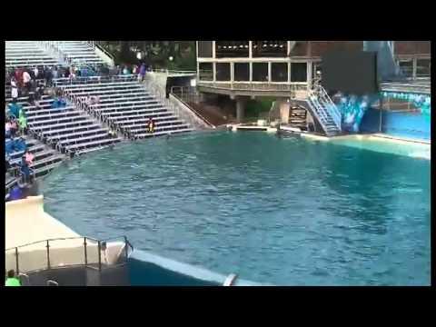 Orca se come pelicano en pleno show.