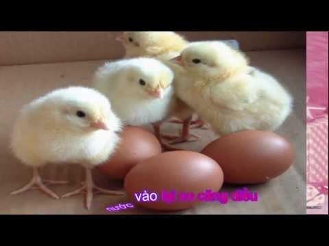 Đàn gà trong sân nhạc thiếu nhi Little chicken cute song odkhi