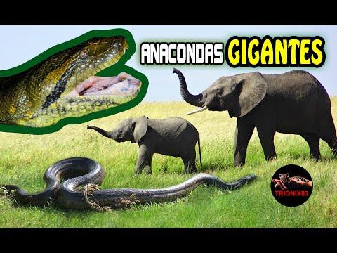 ANACONDAS GIGANTES REALES Anacondas mas grandes del mundo – Animales salvajes