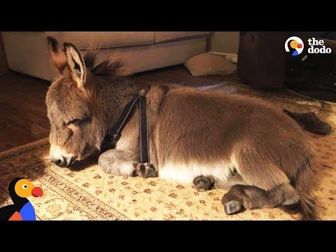 Xxx Mp4 Tiny Donkey Thinks He 39 S Actually A Dog The Dodo 3gp Sex